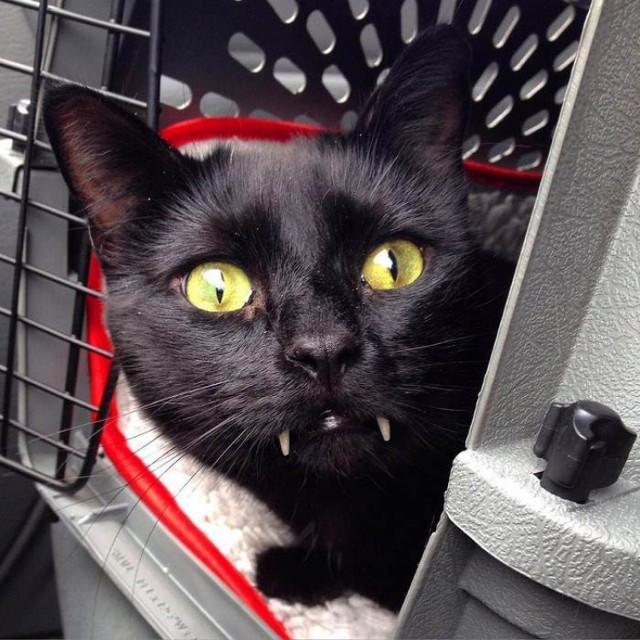Uratowany kot okazał się… wampirem [GALERIA]