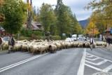 Podhale. Hodowcy owiec chcą interwencyjnego skupu jagniąt. Bo nie mają co zrobić z owcami