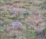 Kamera uchwyciła wilki na Dolnym Śląsku. Zobaczcie film!