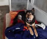 Psi staruszek ze schroniska jest skazany na wózek inwalidzki. Pilnie potrzebuje domu