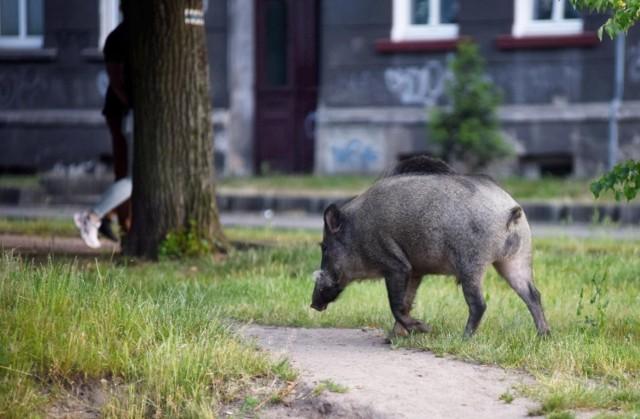 W 2021 roku w Poznaniu odłowiono już 640 dzików.