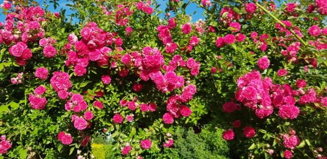 Letnie kwiaty i owoce na działkach Zobacz kolejne zdjęcia/plansze. Przesuwaj zdjęcia w prawo - naciśnij strzałkę lub przycisk NASTĘPNE