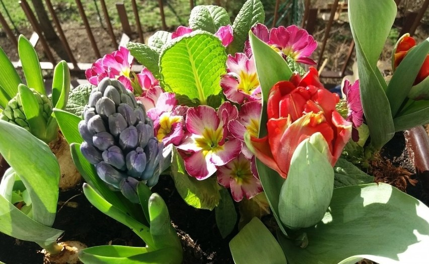 Już od wczesnej wiosny nasz balkon mogą zdobić kwiaty....