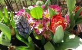 Wiosenne kwiaty na balkon. TOP 10 roślin do posadzenia wczesną wiosną 5.05.2021