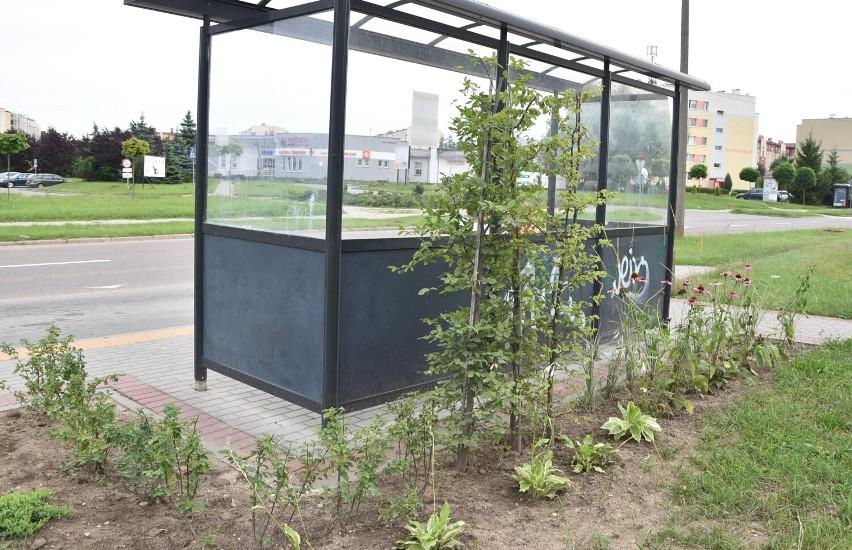 Malbork. Zielone przystanki autobusowe mają umilać życie pasażerom. Tak wygląda jeden z nich, którzy został ukwiecony