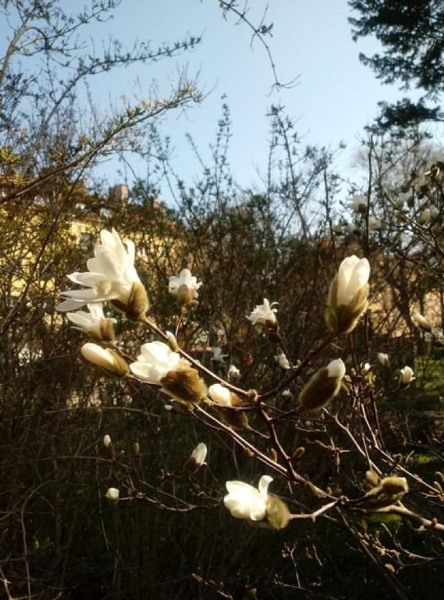 Wiosna już na dobre się u nas rozgościła. Mimo że słońce za oknami zachęca do spacerów, w obecnej sytuacji powinniśmy zostać w domu.   Zapraszamy zatem na wirtualny spacer po Ogrodzie Botanicznym, który znajduje się przy Uniwersytecie Kazimierza Wielkiego.