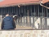 Wielka licytacja koni Wiączyniu Dolnym koło Łodzi. Licytacja koni ze stadniny w Wiączyniu odbędzie się online. Sprawdź termin licytacji