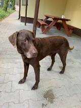 Wolsztyn/Karpicko: Znaleziono psa! Szukamy właściciela czworonoga