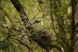 Do oleśnickich lasów przyleciał czarny bocian