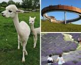 10 ciekawych, nietypowych atrakcji turystycznych w Małopolsce: podróż retro pociągiem, lawendowe morze, spacer z alpakami [ZDJĘCIA, ADRESY]