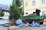 Posadzono nową jodłę na placu Tadeusza Kościuszki w Łęczycy ZDJĘCIA