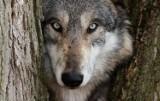 W Górach Sowich pojawiły się wilki! Zagrożone są biegające samopas psy! Co z muflonami i sarnami?