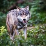 Wilk na spacerze w Leśnictwie Roje [FILM]