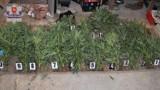 Puławy: 30-latek uprawiał marihuanę na działce