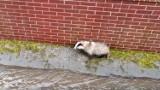 Borsuk nie mógł wydostać się z kanału Strzyży. Osłabione i wystraszone zwierzę zauważył przechodzień [zdjęcia, wideo]