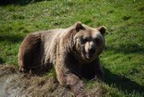 Żbik Maurycy, osioł Waldi i niedźwiedź Grześ. Poznaj mieszkańców Akcent ZOO w Białymstoku (zdjęcia)