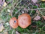 Jak ich unikać robaczywych grzybów? Dlaczego grzyby są robaczywe? Mykolog wyjaśnia! Dlaczego podgrzybki są robaczywe? 21.09.2021