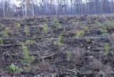 Nadleśnictwo Gniezno. Trwa sadzenie lasu w miejscach zniszczonych przez nawałnicę w 2017 r. [FOTO]