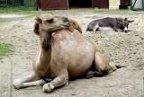 Jak wypożyczyć wielbłąda? Po prostu z zoo. I to za darmo
