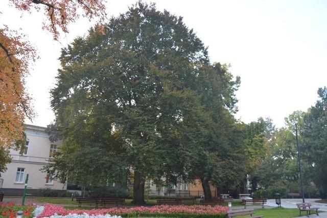 """Buk """"Marek"""" rośnie w parku Kazimierza Wielkiego."""