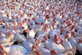 Ptasia grypa w powiecie kaliskim. Potwierdzono kolejne ognisko choroby. Część Kalisza w strefie zagrożonej