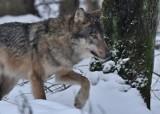 Przed sąd za zastrzelenie wilka. Oskarżony to 42-letni mieszkaniec powiatu biłgorajskiego