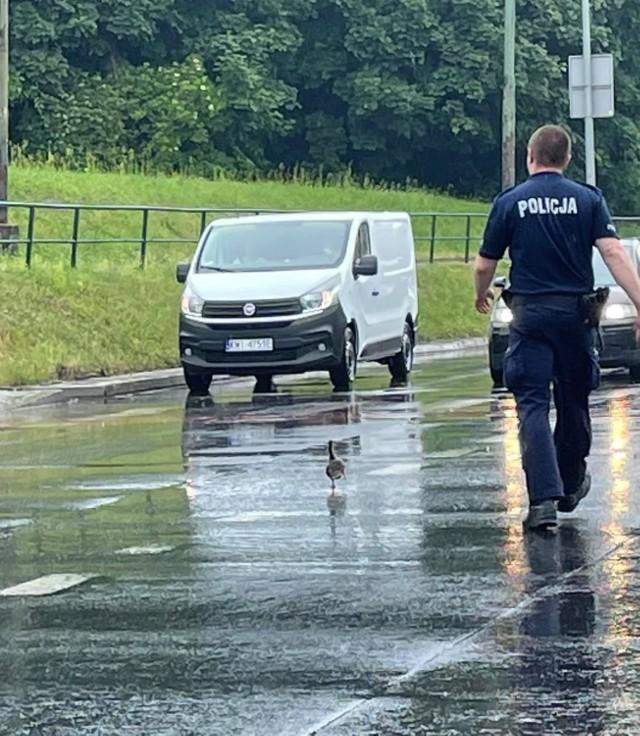 Kaczka w asyście policji na skrzyżowaniu Wielickiej i Powstańców Śląskich