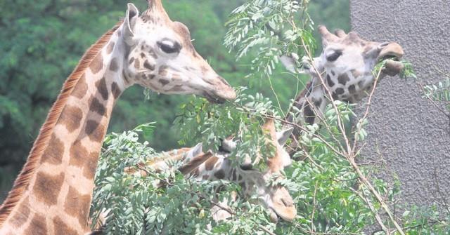 Do minionej niedzieli odwiedzających łódzki ogród zoologiczny cieszył widok trzech żyraf Rothschilda