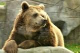 Niedźwiedzie z zamojskiego zoo obudziły się już z zimowego snu. Zobacz zdjęcia