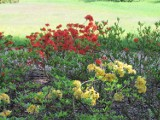 Azalie w gołuchowskim parku zachwycają kolorami