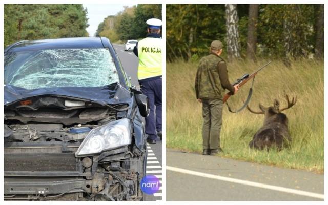 Ranny łoś po wypadku z hondą na drodze krajowej 91 we Włocławku musiał zostać odstrzelony.