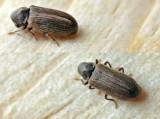 """""""Robaki"""", które mieszkają w twoim domu. Możesz nawet o tym nie wiedzieć! Pluskwiaki, insekty, które budzą wstręt. Jak się ich pozbyć?"""