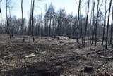 Kilkaset drzew zostało wyciętych przy alei Marszałkowskiej w Częstochowie. Inwestor uzyskał zgodę miasta
