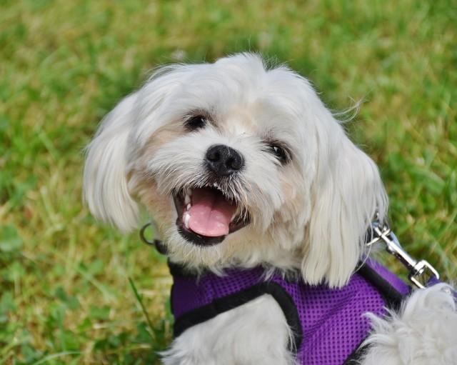 W Brześciu Kujawskim kwota pozostaje bez zmian (30 zł rocznie za psa), a opłata od posiadania psów płatna jest bez wezwania, jednorazowo w terminie do dnia 15 maja roku podatkowego.  Od 1 stycznia 2021 roku będą obowiązywały zmiany w zwolnieniach z opłaty:  Zwalnia się od opłaty od posiadania psów: 1) psa nabytego ze schroniska dla zwierząt, na podstawie zaświadczenia wydanego przez schronisko. 2) szczenię w wieku do 6 miesięcy utrzymywane w hodowli, pod warunkiem, że hodowla prowadzona jest zgodnie z odrębnymi przepisami.
