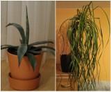 Lubelskie: Te rośliny doniczkowe kupisz na OLX. Najpiękniejsze kwiaty i najlepsze ceny. Sprawdź oferty