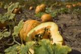 Dzień Dyni w Jankowie Zaleśnym 11 września – jedyna taka uprawa w Wielkopolsce
