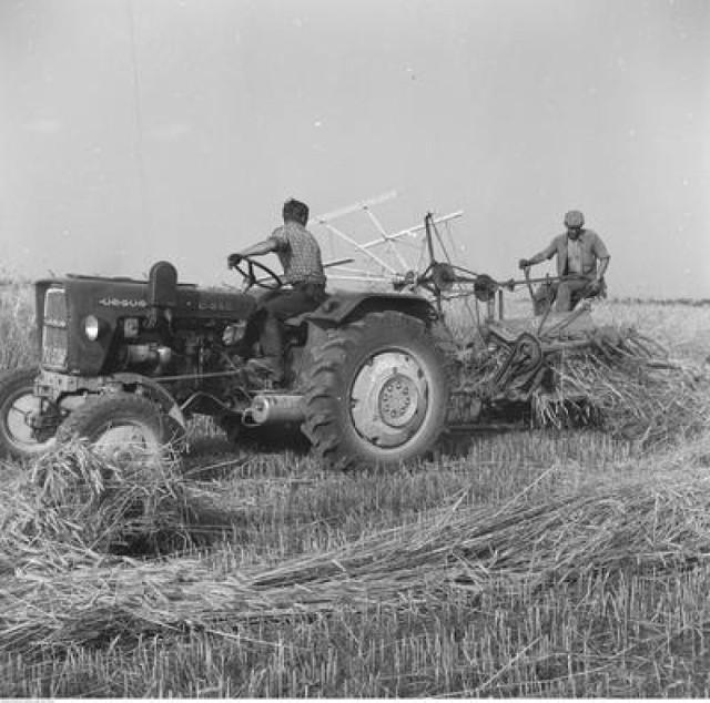 Żniwa w Polsce. Tak wyglądały zbiory zbóż w poprzednim wieku