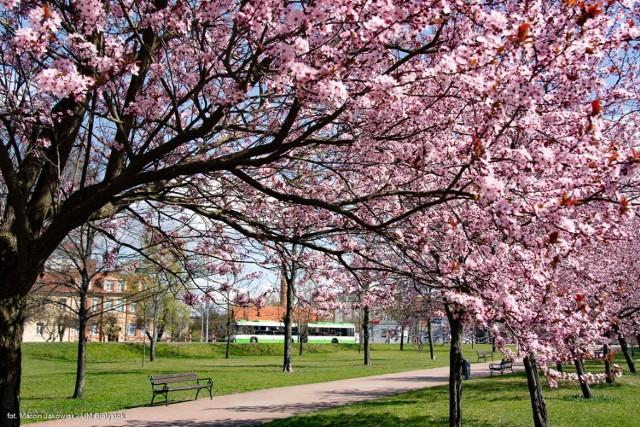 Wiosna 2020 w Białymstoku. Kwitną kwiaty i drzewa