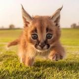 Caracale to nie tylko helikoptery. To też najsłodsze koty na świecie [ZDJĘCIA]