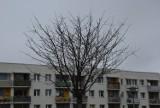 Przy niektórych ulicach w Zielonej Górze można natknąć się na młode, uschnięte drzewka. Czy jeszcze da się je jakoś uratować?