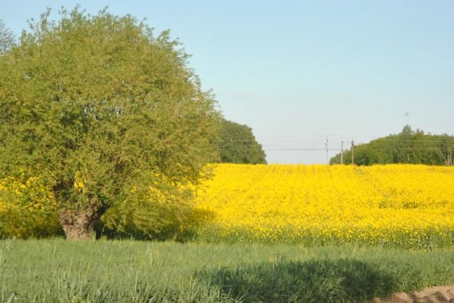 POWIAT LESZCZYŃSKI zachwyca... polami rzepaku. Czy znaliście okolice Leszna z tej strony?