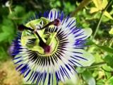 Muszyna. W Ogrodach Biblijnych zakwitł niezwykły kwiat. Zawiera symbole narzędzi męki Chrystusa [ZDJĘCIA]