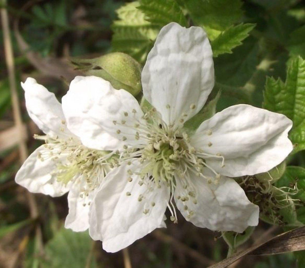 Biale Kwiaty Polne Ktore Spotkasz Na Przydroznych Rowach Lakach Fotogaleria Zbaszyn Nasze Miasto