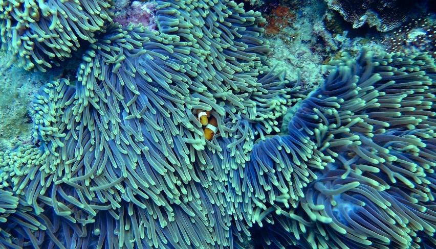 Wielka Rafa KoralowaWielka Rafa Koralowa zagrożona jest...