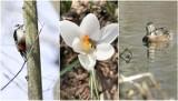 To już na pewno wiosna zawitała do Słupska. ZDJĘCIA naszego fotoreportera