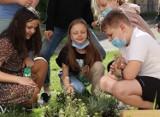 Domki dla jerzyków i hotele dla owadów zapylających trafiają do kaliskich szkół. ZDJĘCIA