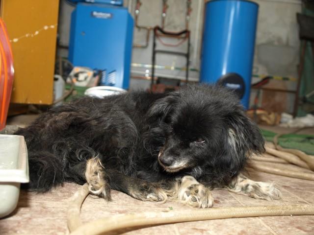 Uratowany pies jest wycieńczony. Jego wybawcy proszą o kontakt właściciela lub osobę, która chcialaby się nim zaopiekować. Najlepiej dzwonić na na policję