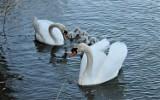 Jeziorko Koźlarskie Chlastawa - wycieczka na godzinę. Łabędź niemy - powiększyła się rodzinka - 11.05.2021 [Zdjęcia]