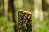 Mieszkańcy bronią zieleni. Drzewa w Nadleśnictwie Oleśnica lecą na potęgę, ale będą nowe nasadzenia