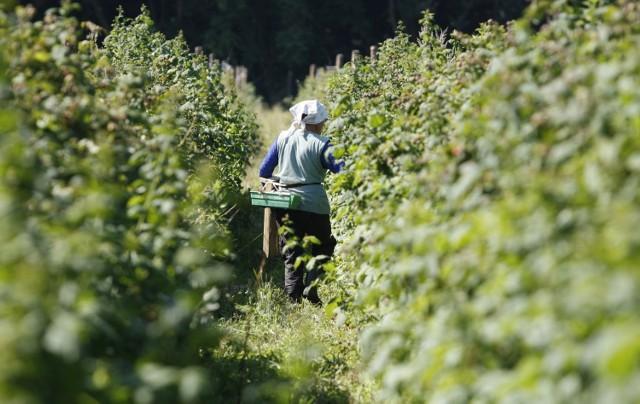 Pracownicy z Ukrainy cenieni są m.in. w rolnictwie i sadownictwie. Coraz więcej wschodnich sąsiadów pracuje jednak w przemyśle, a nawet handlu.